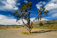 Shoe Tree - Nevada